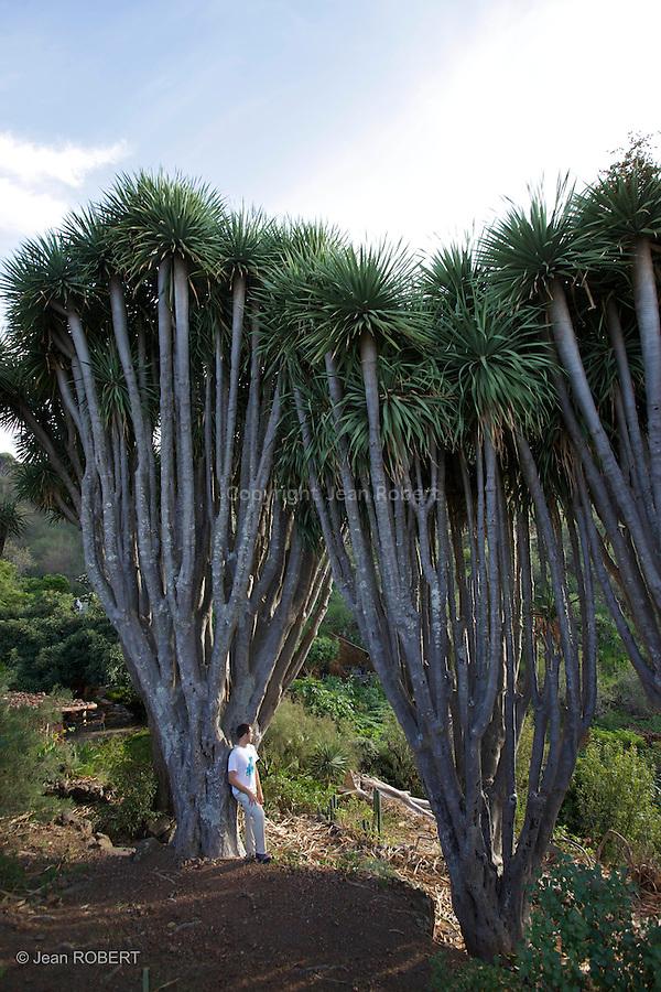 Dragonniers près de Las Tricias au nord ouest de La Palma.dragon tree near Las Tricias, north west of La Palma