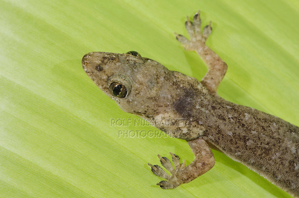 Indo-Pacific Gecko, Hemidactylus garnotii, adult on glass showing underside, Central Pacific Coast, Costa Rica, Central America, December 2006