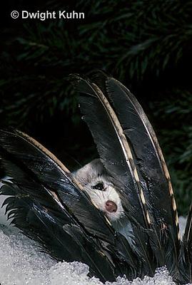 MA04-030x  Short-Tailed Weasel - ermine with bird prey in winter - Mustela erminea