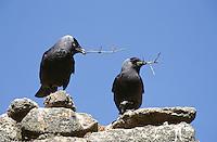 Dohle, mit Nistmaterial im Schnabel, Coloeus monedula, Corvus monedula, jackdaw