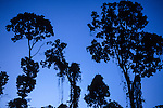 South-west, Para,  Amazon, Brazil. Rainforest trees in silhouette at nightfall. Brazil nut trees, the tallest in the forest against a blue evening sky.