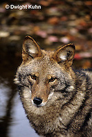 MA27-040z   Eastern Coyote - Canis latrans