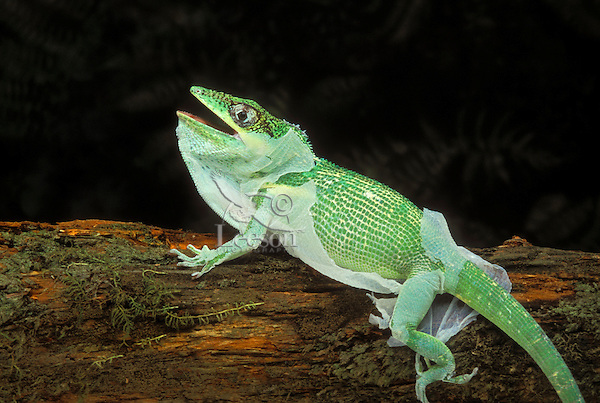 Cuban Knight Anole Shedding Old Skin Native To Cuba