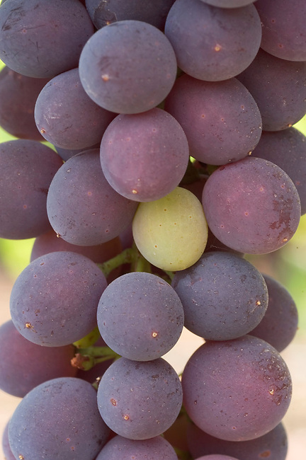 Pinot Noir grape ripening