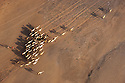 Kenya, Rift Valley, herd of camels walking to oasis in Chalbi Desert