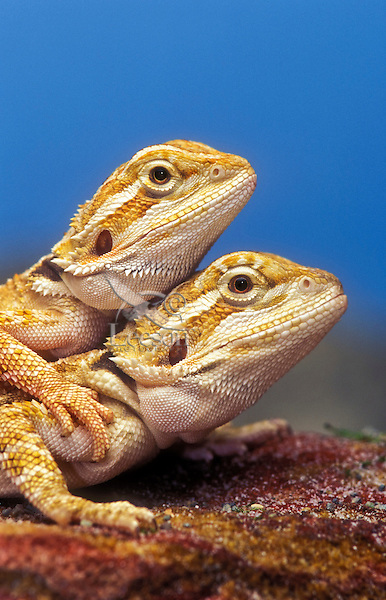 Pogona aka Bearded Dragons (Pogona vitticeps).