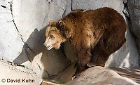 0325-1007  Grizzly Bear, Ursus arctos horribilis  © David Kuhn/Dwight Kuhn Photography.