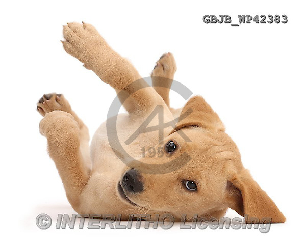 Kim, ANIMALS, REALISTISCHE TIERE, ANIMALES REALISTICOS, fondless, photos,+Yellow Labrador puppy, 11 weeks old, lying upsidedown with paws in the air,++++,GBJBWP42383,#a#