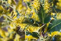Ilex aquifolium 'Ferox Argentea' English Holly, variegated