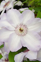 Clematis 'Dorath' white and pale violet flowers with red anthers climbing vine