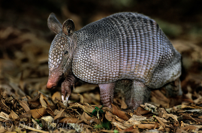 605500008 a wild nine-banded armadillo dasypus novemcinctus forages among winecups callirhoe digitata on a ranch in tamaulipas state mexico