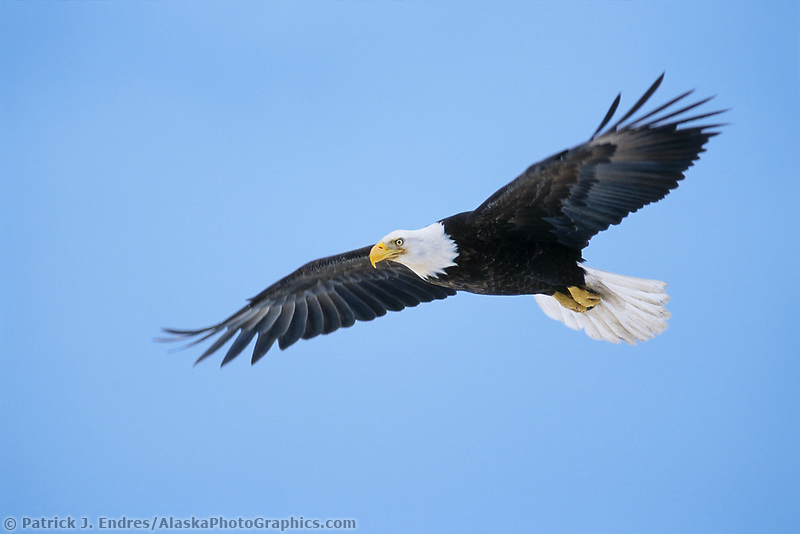 Bald eagle in flight, Homer, Alaska.