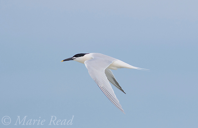Sandiwch Tern (Sterna sandvicensis) adult in breeding plumage, in flight, Fort De Soto Park, Florida, USA