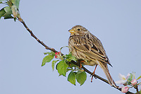 Corn Bunting, Miliaria calandra, National Park Lake Neusiedl, Burgenland, Austria, April 2007