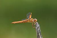 389310013 a wild female flame skimmer libellula saturata perches on a dead twig in fish slough mono county callifornia
