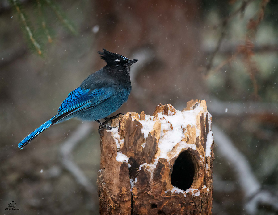 Steller's Jay (Cyanocitta stelleri) seems unbothered by the light snow, as it takes a pause to identify the location of its next snack.