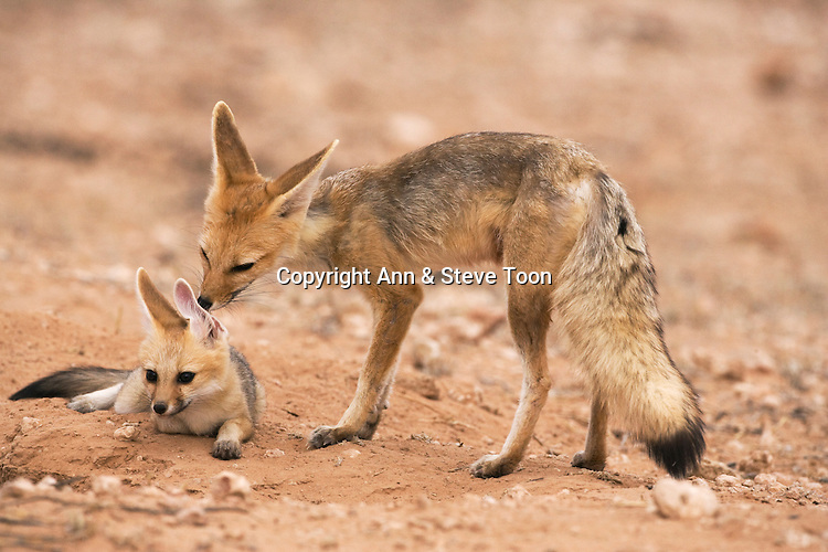 Cape fox, Vulpes chama, grooming pup, Kgalagadi Transfrontier Park,Northern Cape, South Africa
