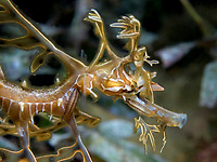 leafy Seadragon, Phycodurus eques, a juvenile about 4 weeks of age. This one has three parasitic isopods attached to its face and body, Wool Bay, South Australia, Australia, Southern Ocean