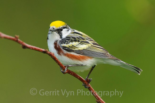 Adult male Chestnut-sided Warbler (Dendroica pensylvanica) in breeding plumage. Tompkins County, New York. May.