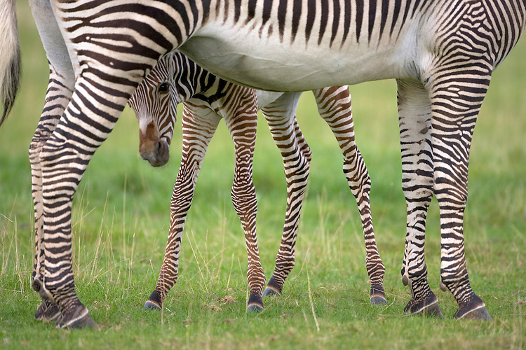 Grevy's Zebra Equus grevyi Shoulder height to 1.5m Has narrower stripes than other zebras.