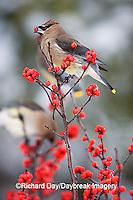 01415-024.12 Cedar Waxwing (Bombycilla cedrorum) eating Common Winterberry (Ilex verticillata)  Marion Co. IL