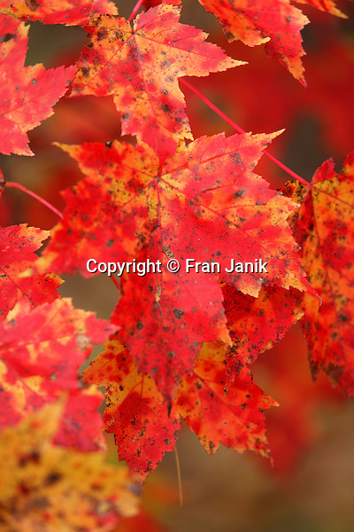 Several leaves hang from the branch of a Maple tree displaying bright red and yellow colors in the fall woods of Vermont