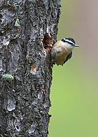A red-breasted nuthatch perches near its nest hole.