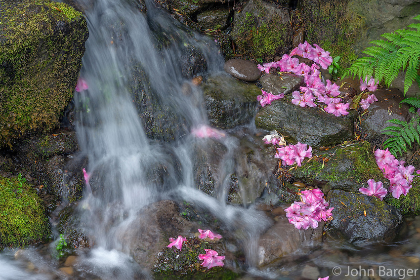 ORPTC_D120 - USA, Oregon, Portland, Crystal Springs Rhododendron Garden, Small waterfall with fallen rhododendron blossoms and fern fronds.
