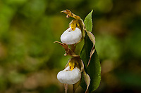 Mountain Lady's-Slipper or White Lady's-Slipper (Cypripedium montanum) a forest flower found on the east slope of Cascade Mountain Range, Washington, May-June.
