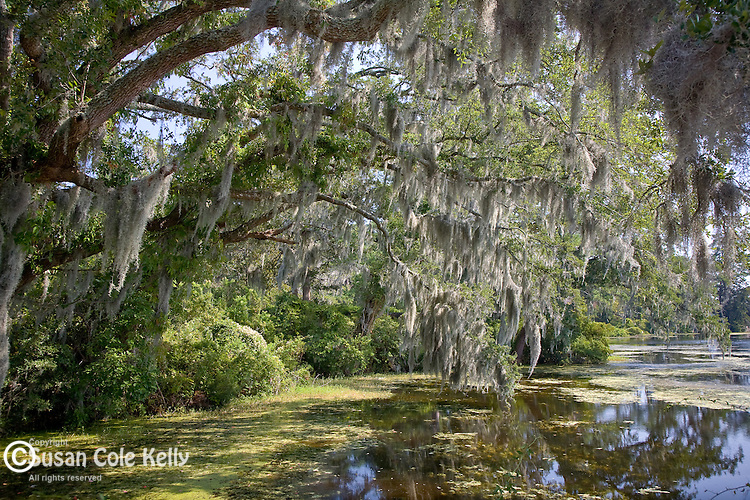 Live oaks at Airlie Gardens, Wilmington, NC, USA