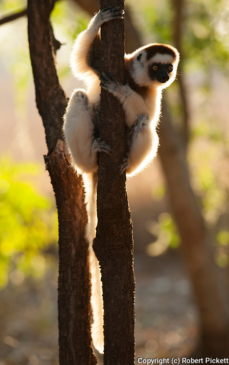 Verreaux's sifaka, Propithecus verreauxi, Berenty National Park, Madagascar, sitting in tree, looking, watching, Classified as Vulnerable (VU) on the IUCN Red List, and listed on Appendix I of CITES