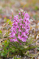 Wooly lousewort on the spring tundra in Denali National Park, Alaska