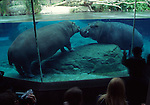 2 hippopotamus at San Diego Zoo