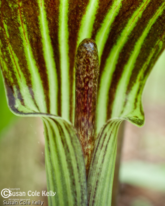 Jack-in-the-pulpit  (Arisaema atrorubens) in the Middlesex Fells, Winchester, MA, USA