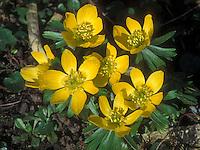 Eranthis hyemalis yellow spring flowering bulb