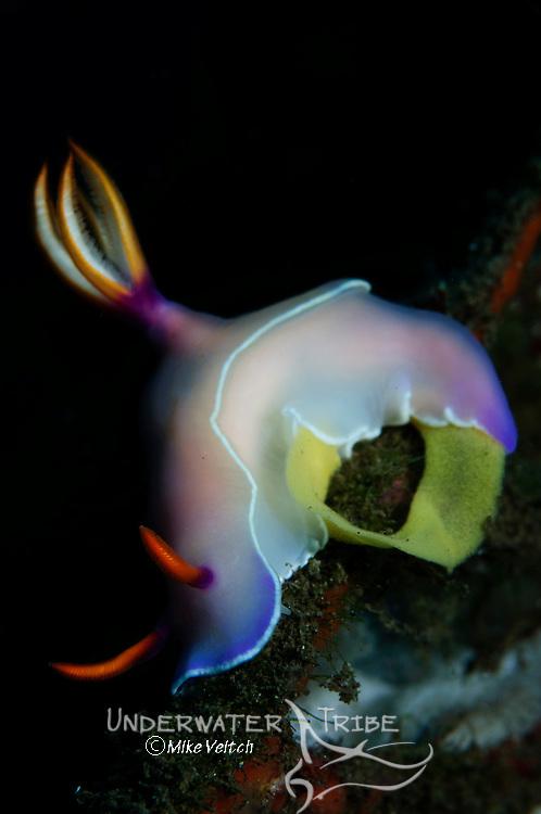 Hypselodoris bullocki complex nudibranch laying eggs, Bima, Sumbawa, Nusa Tenggara, Indonesia, Pacific Ocean