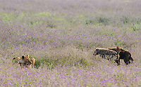 Two Spotted Hyenas, Crocuta crocuta, approach a female Lion, Panthera leo  melanochaita, eating a Thomson's Gazelle, Eudorcas thomsonii,  in Ngorongoro Crater, Ngorongoro Conservation Area, Tanzania