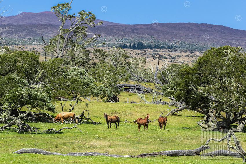 On a sunny morning, three horses and a bull graze at the foothills of Mauna Kea along Mana Road, Big Island.
