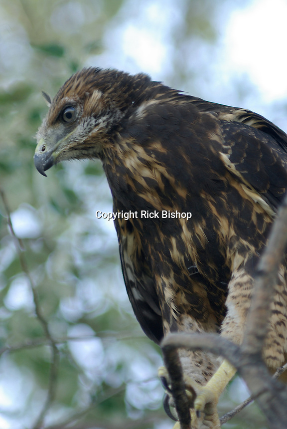 Immature Swainson's Hawk seen on a tree branch below the nest, near Hinckley, Utah.