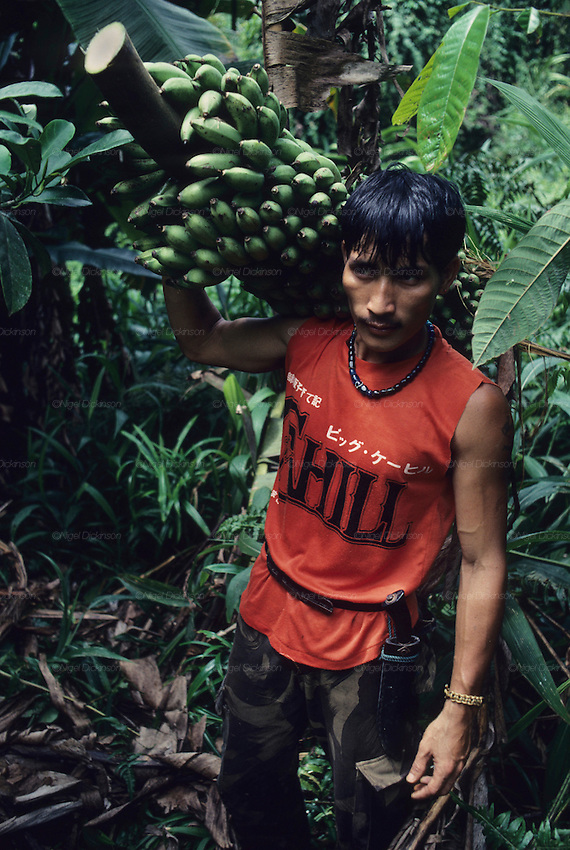 Farming, MALAYSIA. Sarawak, Borneo, South East Asia. Dayak, 'Kelabit', collecting bananas from the forest. Tropical rainforest and one of the world's richest, oldest eco-systems, flora and fauna, under threat from development, logging and deforestation. Home to indigenous Dayak native tribal peoples, farming by slash and burn cultivation, fishing and hunting wild boar. Home to the Penan, traditional nomadic hunter-gatherers, of whom only one thousand survive, eating roots, and hunting wild animals with blowpipes. Animists, Christians, they still practice traditional medicine from herbs and plants. Native people have mounted protests and blockades against logging concessions, many have been arrested and imprisoned.