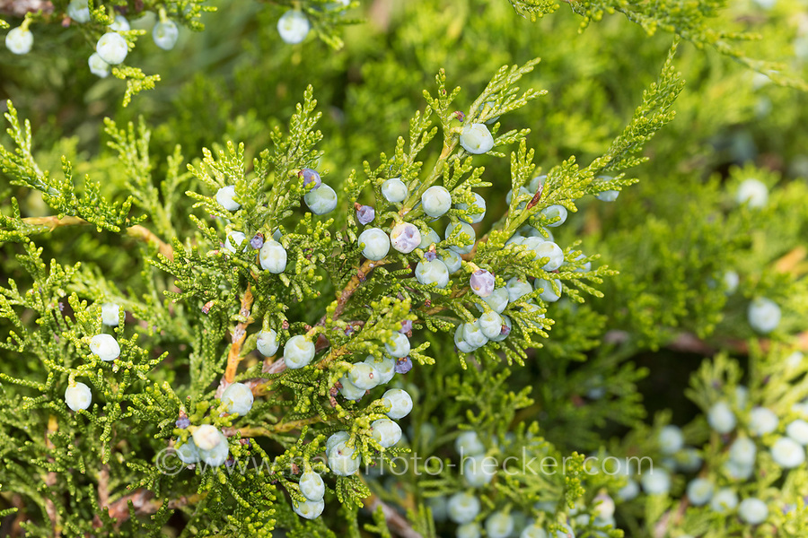 Sadebaum, Frucht, Früchte, Beeren, Stink-Wacholder, Gift-Wacholder, Stinkwacholder, Giftwacholder, Sebenstrauch, Sade-Baum, Juniperus sabina, Savin Juniper, Savin, fruit, genévrier sabine