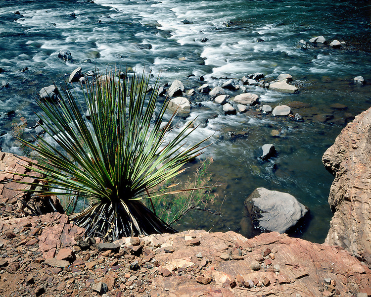 Yucca above the Salt River in Salt River Canyon; Fort Apache Indian Reservation, AZ