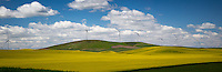 Flowering canola filed in the Palouse region of Washington State.  The flowering usually occurs in June and lasts for 2-3 weeks.