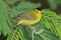 Wilson's Warbler, Wilsonia pusilla, male, South Padre Island, Texas, USA, May 2005