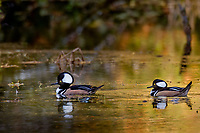 Two Male Hooded Mergansers (Lophodytes cucullatus) in old beaver pond along Hoh River, Olympic National Park, WA.<br /> Late Fall.
