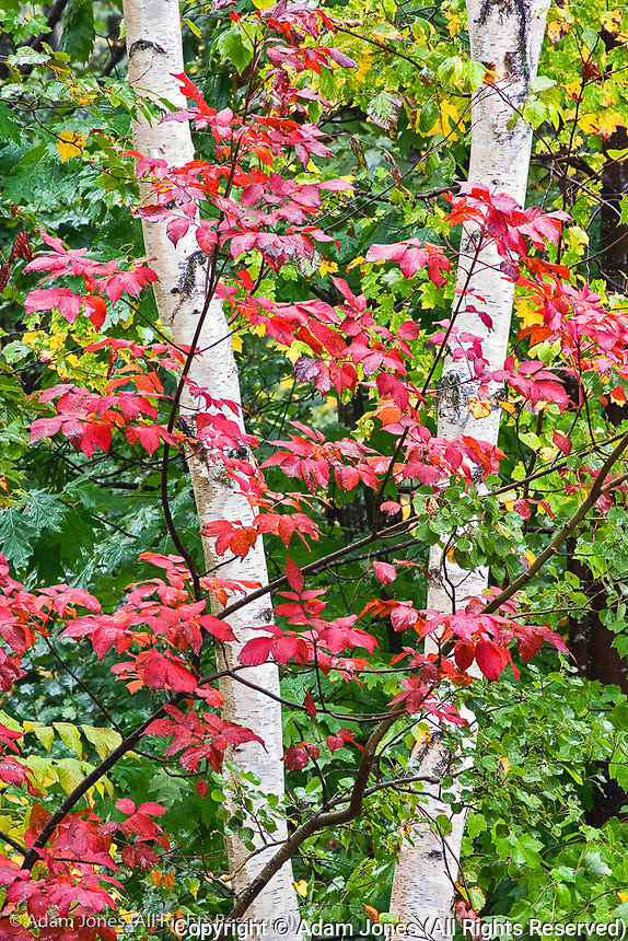 Red leaves and  white birch tree, Acadia National Park, Maine