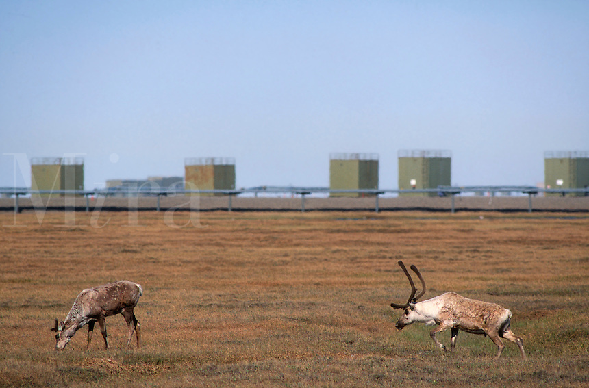 Caribou feed across the greening tundra near enclosed oil wellheads at  Prudoe Bay in northern Alaska.