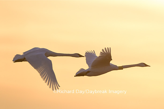 00758-01620 Trumpeter Swans (Cygnus buccinator) flying to wetland, Riverlands Migratory Bird Sanctuary, West Alton, MO