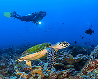 Hawksbill sea turtle with diver, Eretmochelys imbricata, critically endangered species, Manado, Sulawesi, Bunaken National Park, Celebes Sea, Indo-Pacific, Indonesia