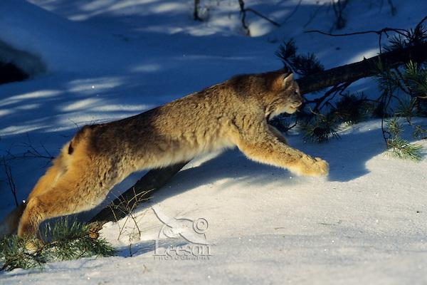 Lynx or Canadian Lynx (Felis lynx) pouncing out of hiding spot.